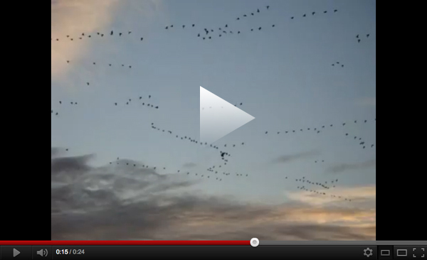 Snow Geese at Sunset Prime Hook
