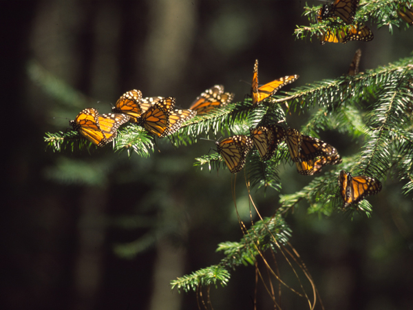 Bruce Byers Consulting - Mariposa Monarch Butterfly