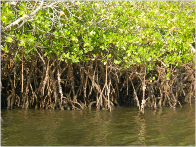 Mangroves in Mozambique5