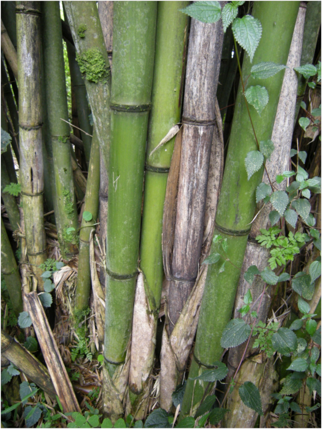 African mountain bamboo, Arundinaria albina