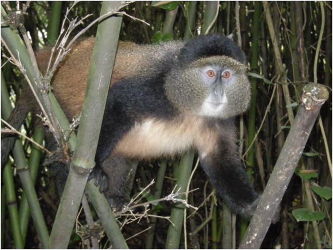 Golden Monkey, Cercopithecus kandti