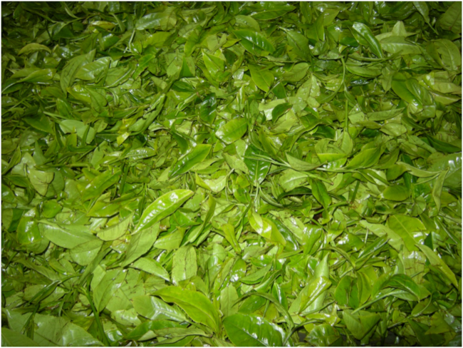 Fresh leaves on the wilting table, Shagasha Tea Company