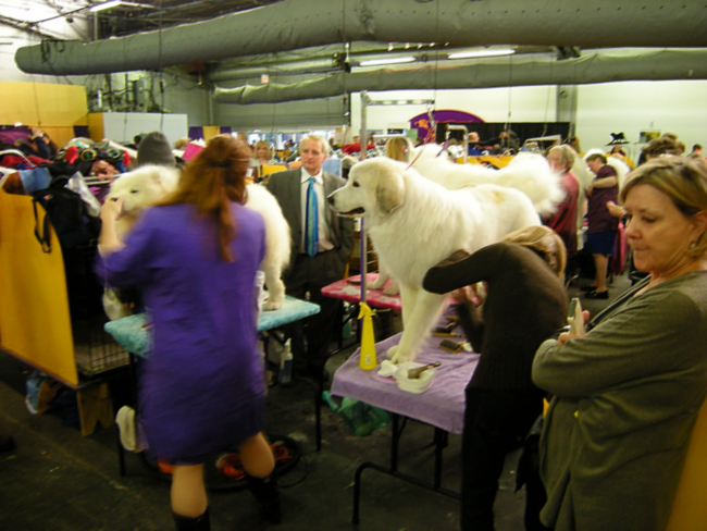 Great Pyrenees getting their last grooming before the show ring