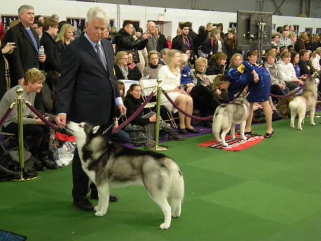 Siberian Huskies and their humans in the show ring