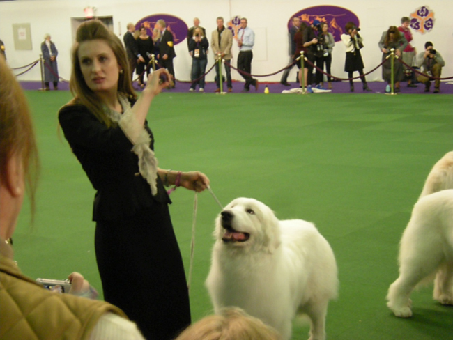 A Great Pyrenees making the scene at Westminster