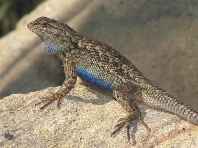 Western fence lizard