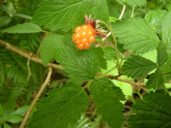 Salmonberry, Oregon