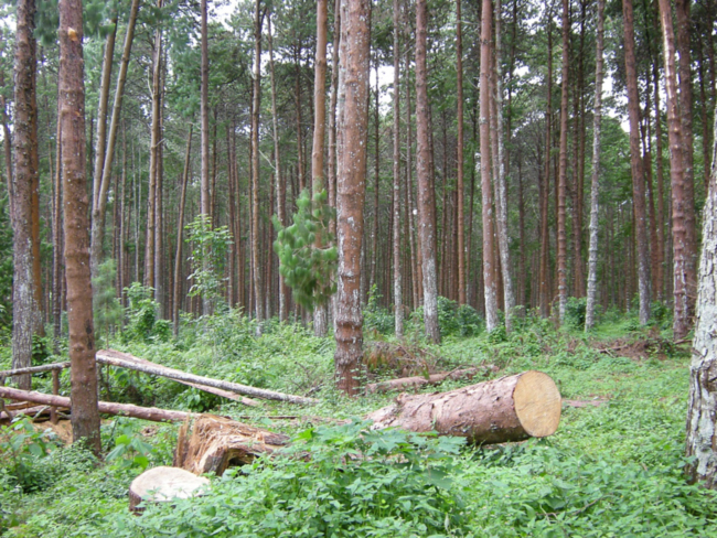 Plantation monoculture of Pinus patula in Zomba Forest Reserve