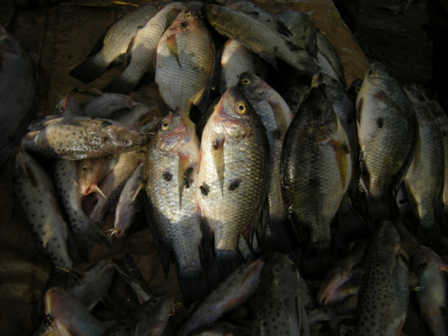 Fish in a local market, Liwonde, Malawi