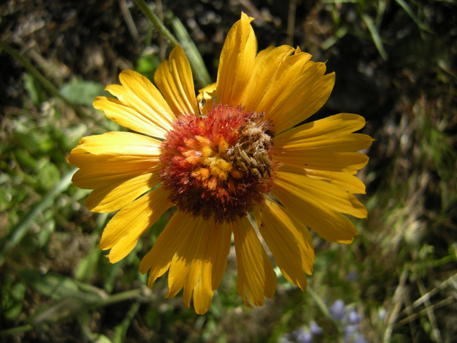 Damage visible on the disc flowers of G. aristata from a Firemoth larva