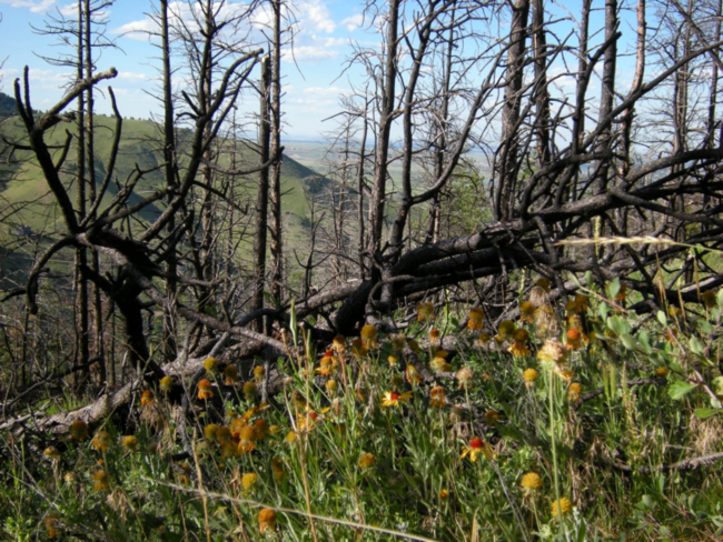 Area on N. side of Mt. Galbraith burned in 2011, with Blanketflowers in July 2015