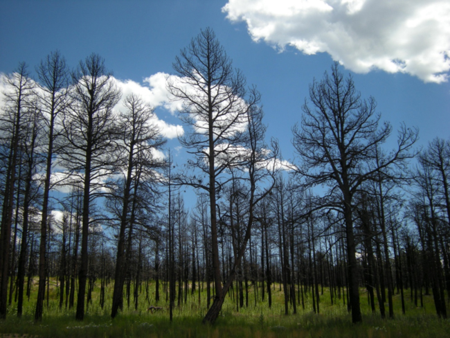 Burned pine woods in the Black Forest