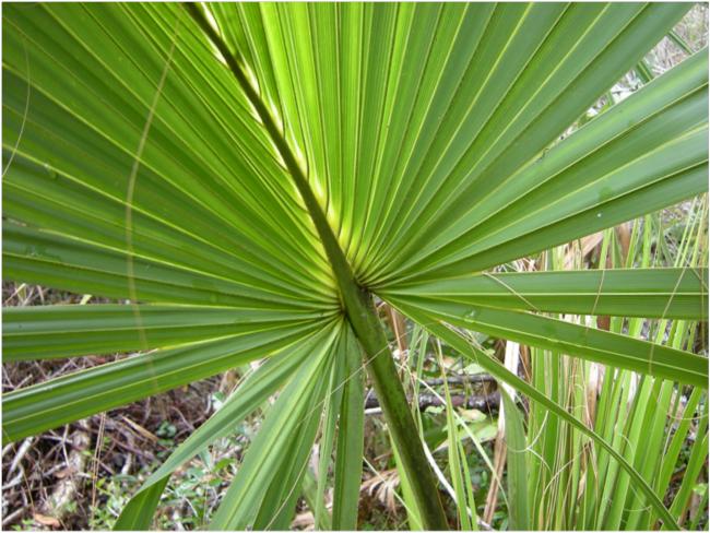 Dwarf palmetto (Sabal minor), Buxton Woods