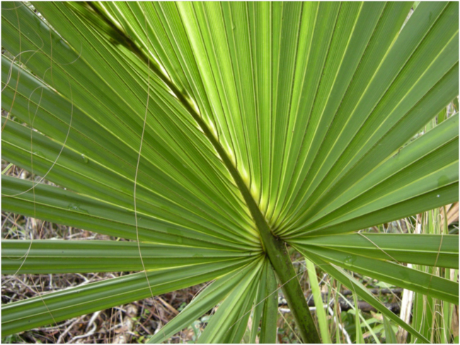 Dwarf palmetto (Sabal minor), Buxton Woods