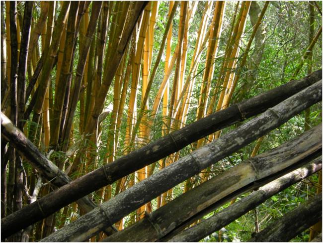 "Bamboo, ""tarrales,"" at Finca Los Tarrales"