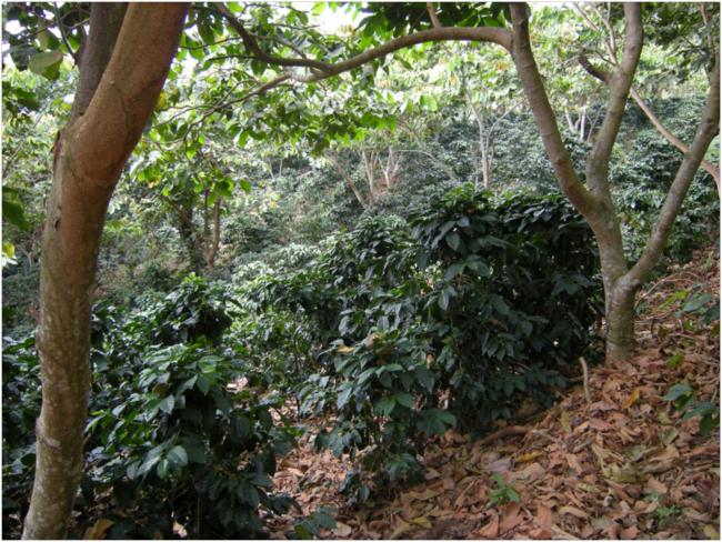 Coffee under shade of native trees, Finca Los Tarrales