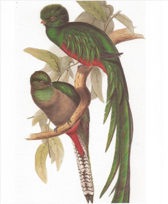 Resplendent Quetzal, from John and Elizabeth Gould's A Monograph of the Trogonidae, or family of Trogons (1838).