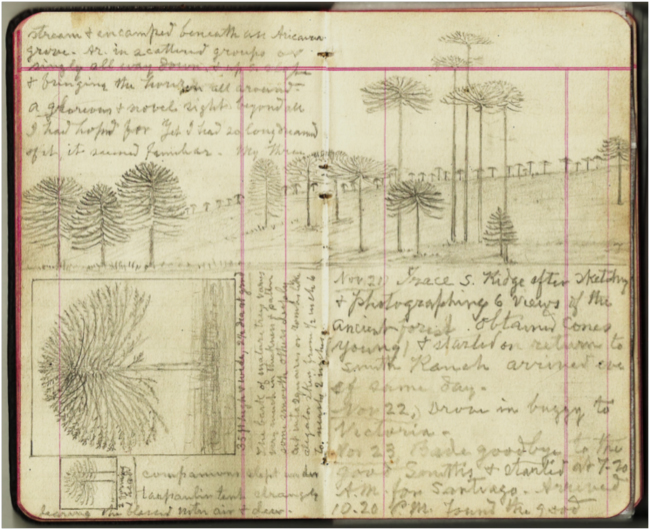 Muir's journal with sketches from the site, 21 November 1911 (courtesy of John Muir Papers, Holt-Atherton Special Collections, University of the Pacific)
