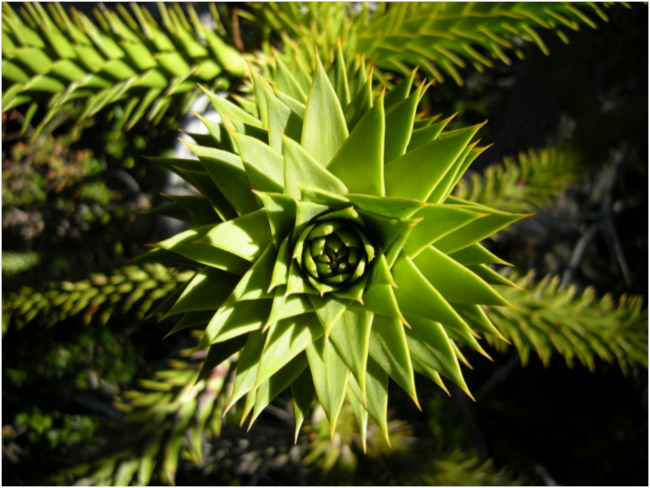 Growing tip of an araucaria