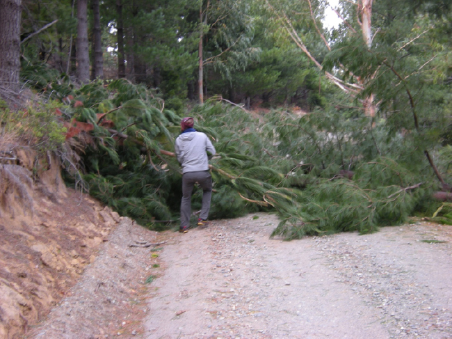 Road to Cañete blocked by windfall pines