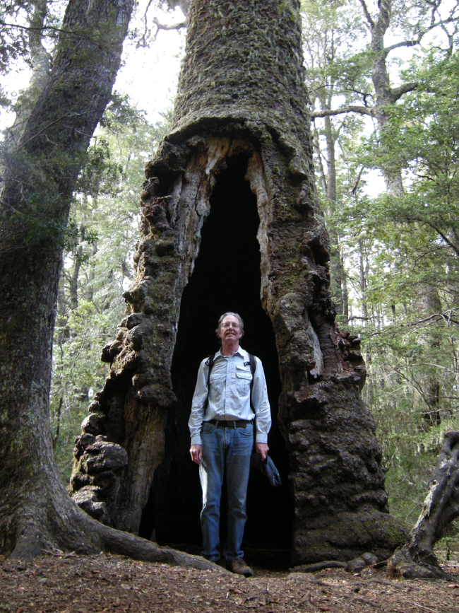 "The oldest Araucaria in Nahuelbuta, the ""Araucaria milenaria"" with its fire-scar cave"