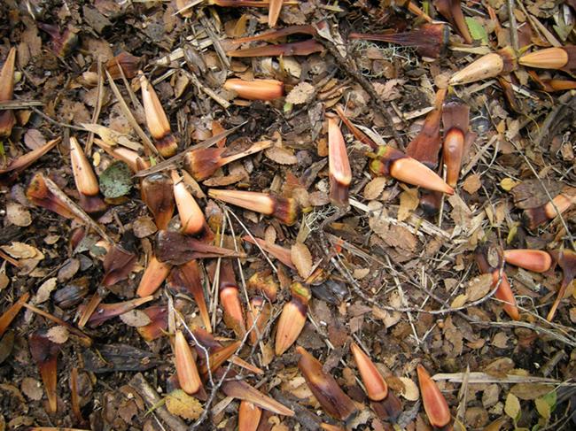 Araucaria seeds, piñones
