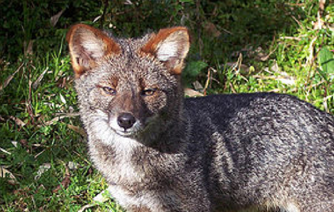 Darwin's Fox, Pseudalopex fulvipes (photo courtesy of Wikipedia)
