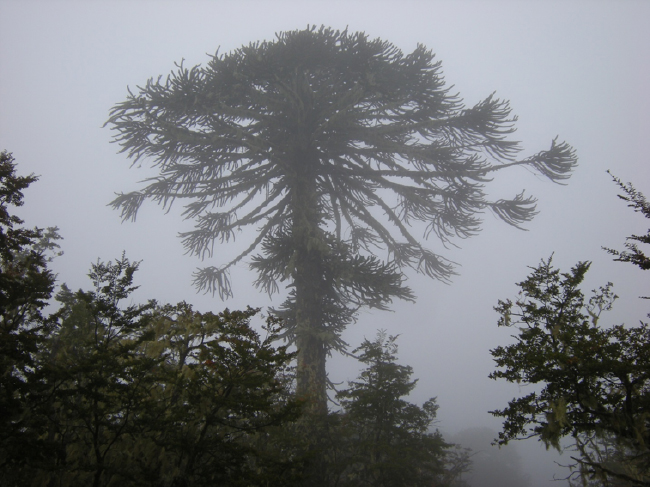 Araucaria on a foggy morning, Nahuelbuta