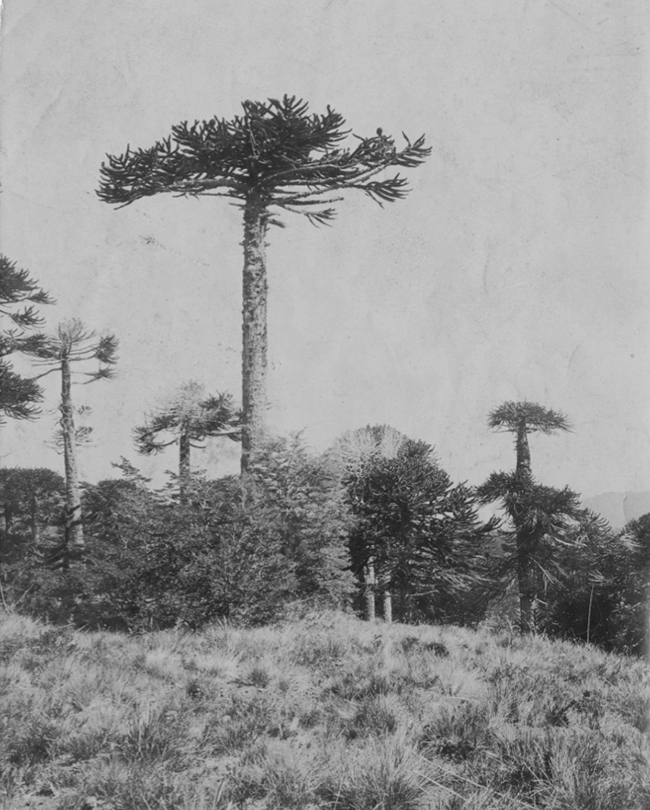 Photo of Araurcarias given to Muir at the Botanical Gardens in Santiago in November, 1911. Image courtesy of John Muir National Historic Site, JOMU 3335