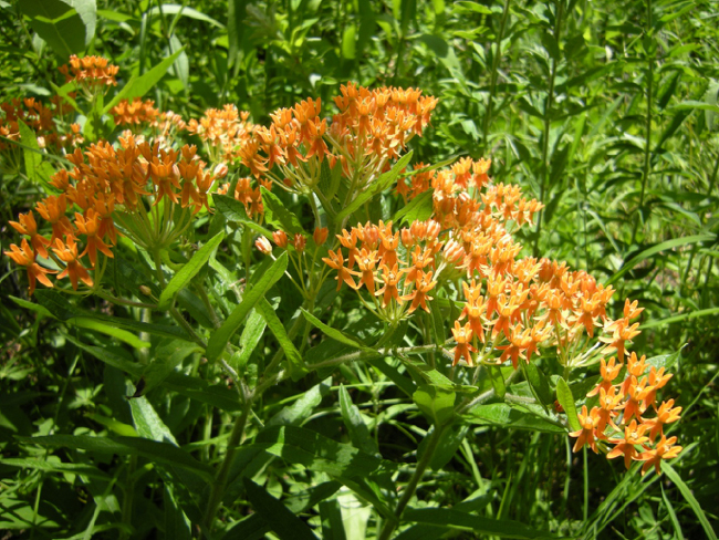 Butterfly milkweed (Asclepias tuberosa) in restored prairie near the Shack