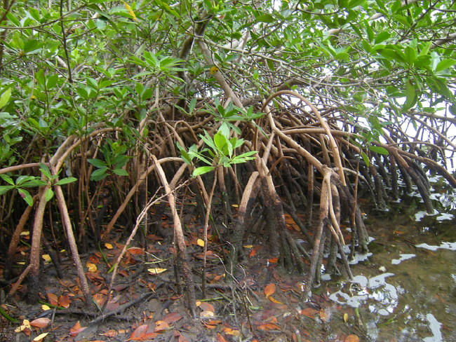 Red mangroves (Rhizophora mangle) at John Pennekamp State Park