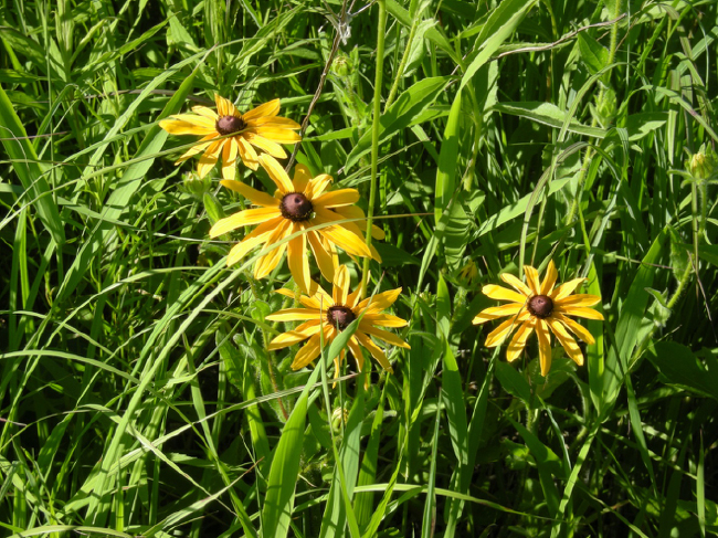 Black-eyed Susan (Rudbeckia hirta) in restored prairie at Fountain Lake