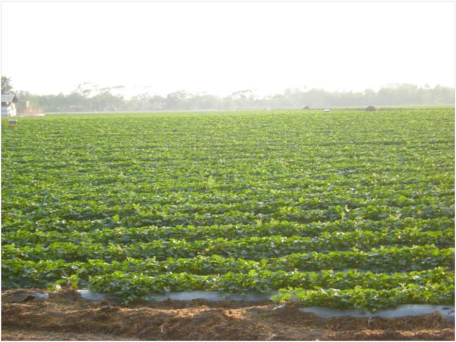 Irrigated melon fields near Teculután
