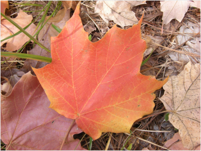 Leaf of cloud forest sugar maple (Acer saccharum skutchii), upper watershed of the Río Teculután, February 2016