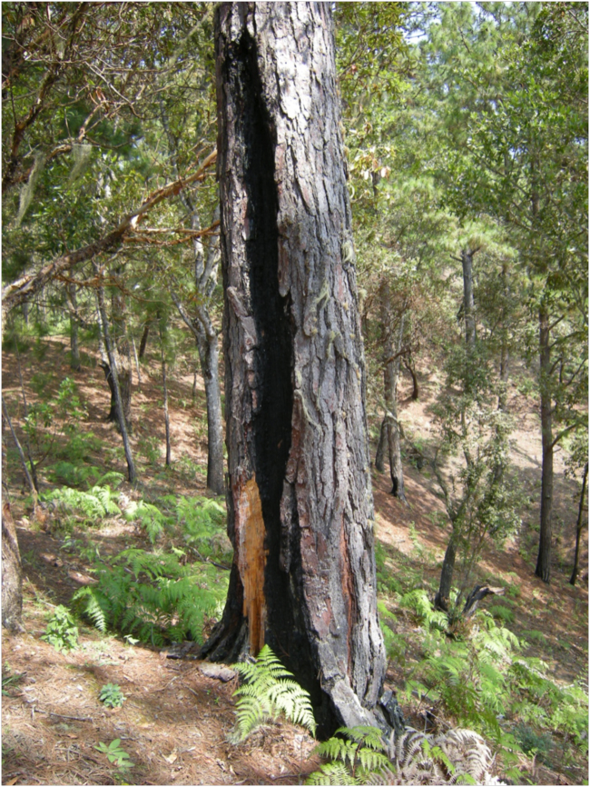 Old fire scar on Pinus oocarpa