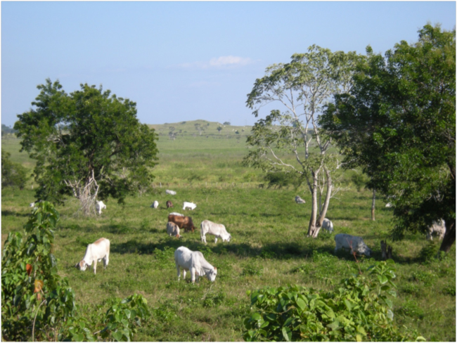 Zebu cattle graze on pasture cleared from lowland tropical forest in the buffer zone of the Maya Biosphere Reserve. January 2016.