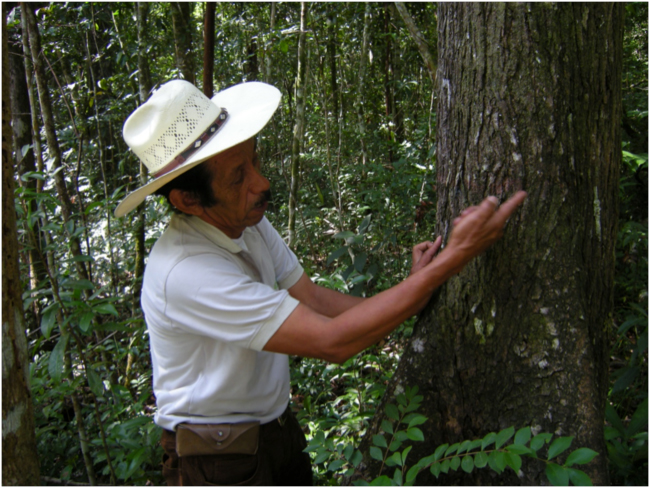 ACOFOP community concessions coordinator Jorge Soza explaining how mahogany is measured to determine the growth rate for management planning