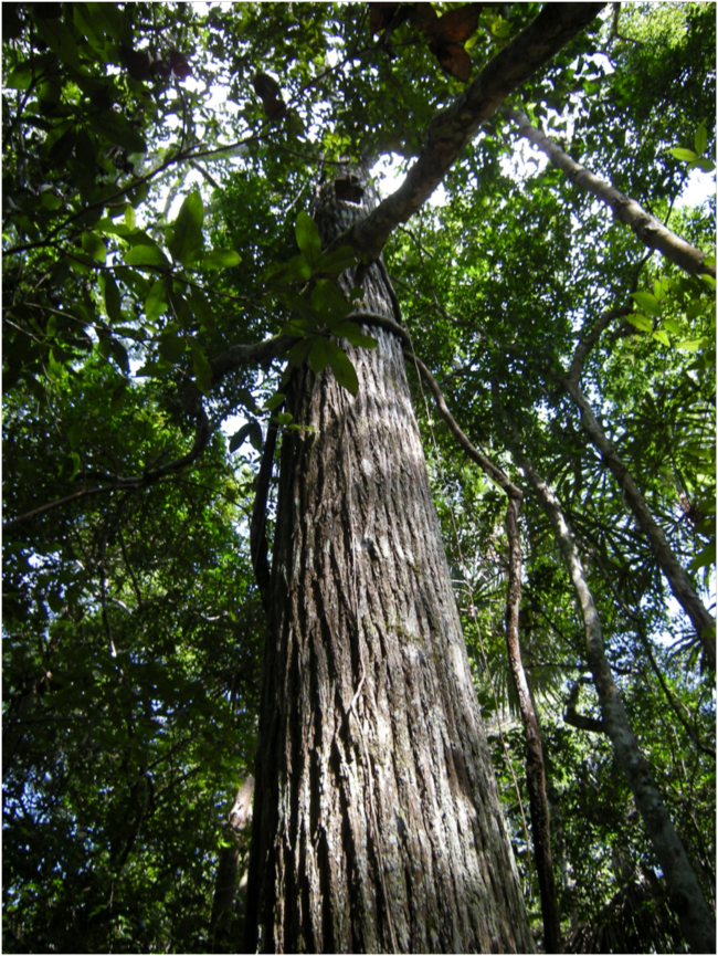 the mahogany tree essay Neem is a tree in the mahogany family meliaceae it is native to ind ia, myanmar, bangladesh, sri lanka, malaysia and pakistan it grows in tropical and semi-tropical.