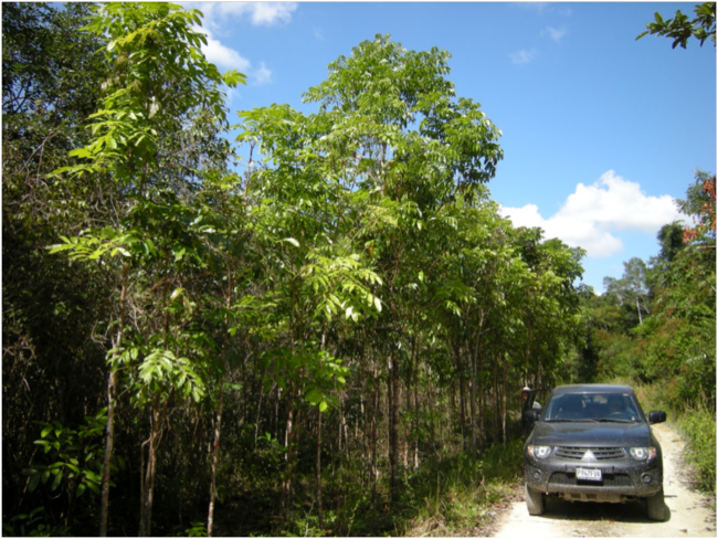 Mahogany saplings from natural regeneration along the road