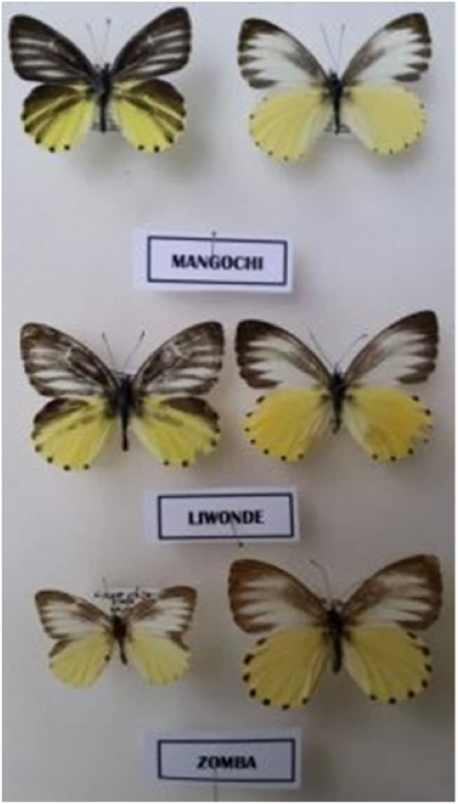Mylothris sagala group, showing potentially new species from Mangochi Mountain (top) and Chikala Hill (middle)