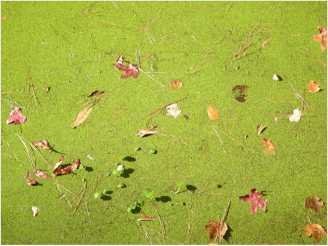 Duckweed (Lemna spp.) covered pond, Nags Head Woods, November 2016