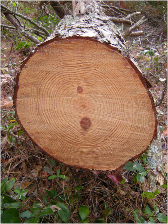 Cross-section of a big loblolly pine (Pinus taeda) toppled by Hurricane Matthew