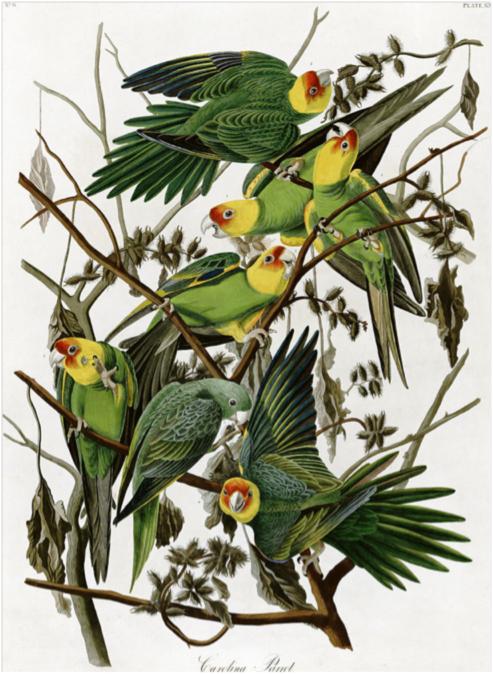 Carolina Parakeet (Conuropsis carolinensis), study for the Birds of America, circa 1825