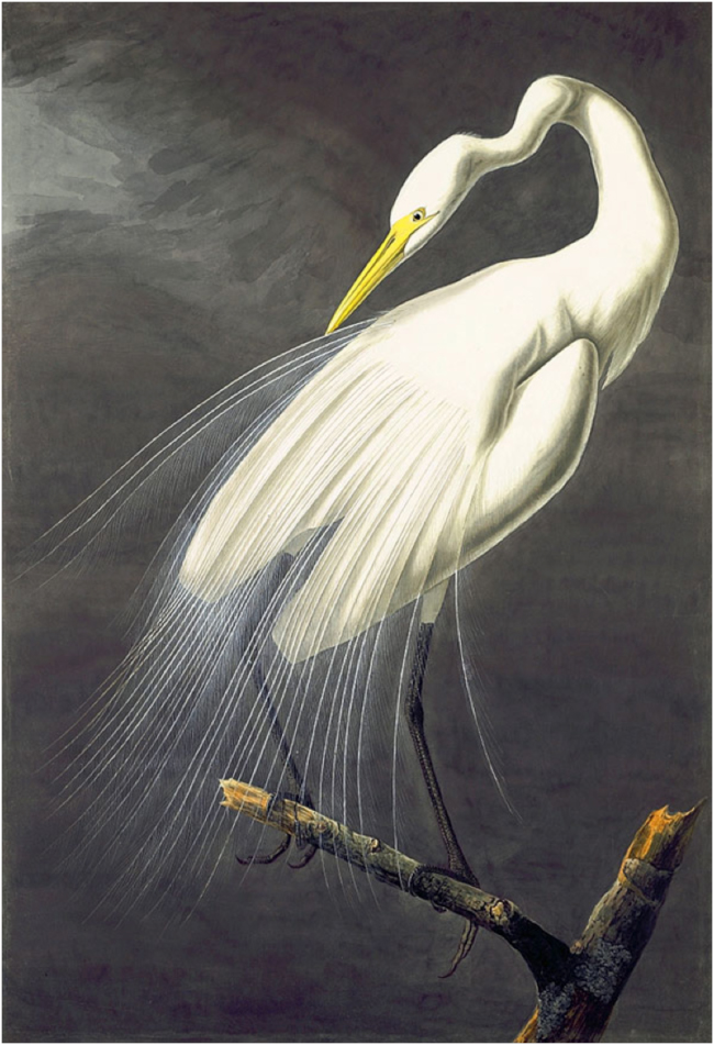 Audubon's painting of the Great Egret (Ardea alba), 1821