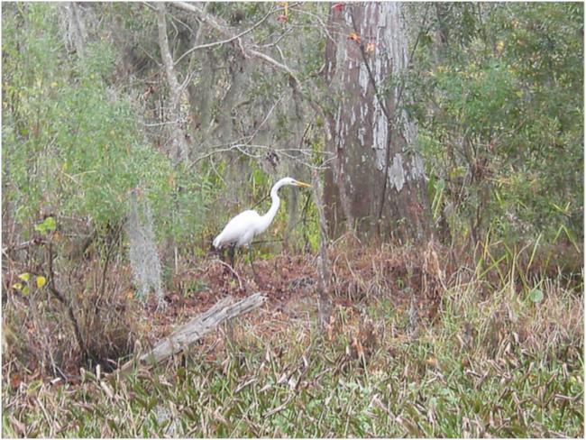 Great Egret, Barataria Preserve