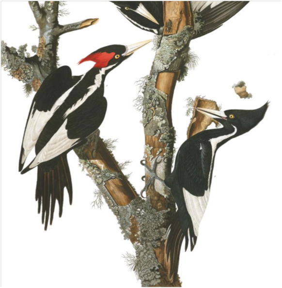Ivory-billed Woodpecker (Campephilus principalis). John James Audubon. Plate 66 (detail), Birds of America.