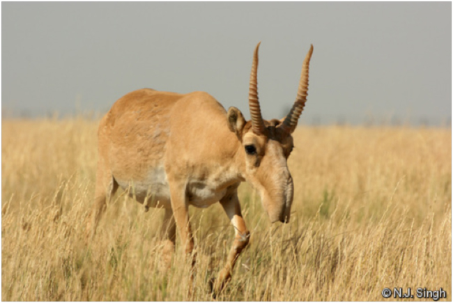 Saiga (Saiga tatarica). Photo credit: IUCN Red List