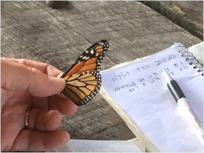 Female monarch ready for tagging