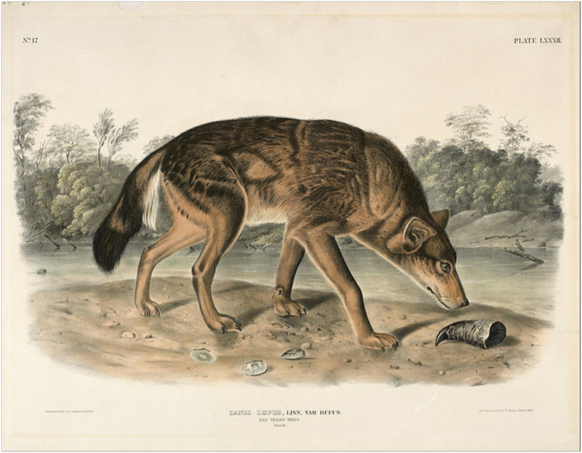 Red Texas Wolf. John James Audubon. 1849.