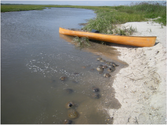 My Atlantic white cedar canoe at Mispillion River, Delaware, with spawning horseshoe crabs